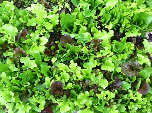 beautiful lettuce